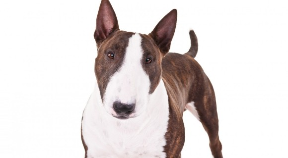 MiniatureBullTerrier_hero